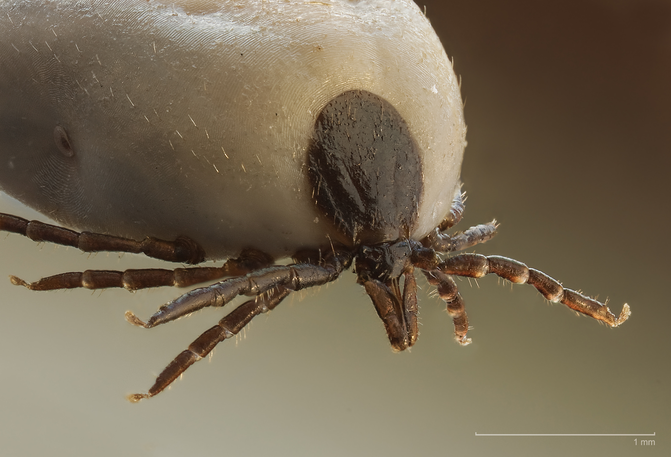 Sheep ticks can transmit encephalitis. This image shows an engorged female.