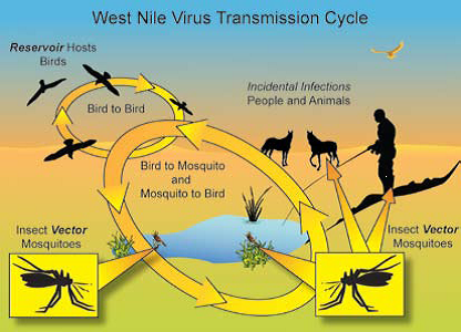 West Nile Virus Transmission Cyle